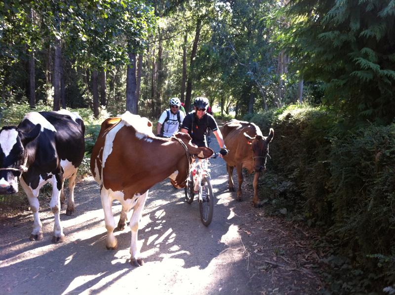 Ciclistas y vacas, algo típico en el Camino de Santiago